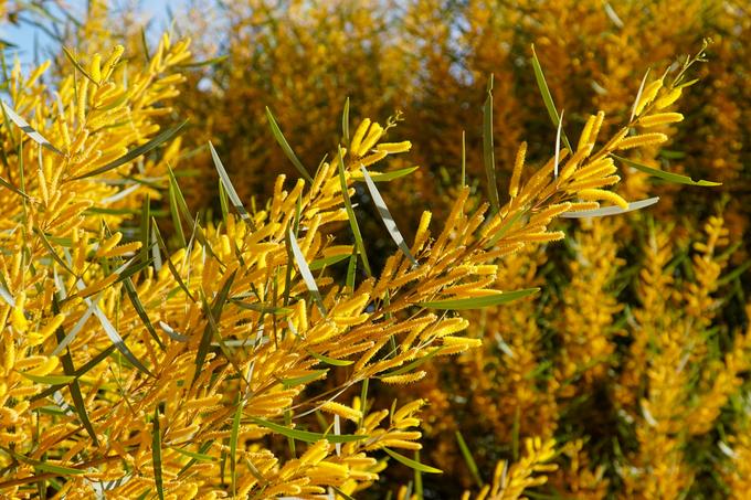 Những cây keo lá tràm bung hoa vàng rực như vừa thay áo mới. Thạc sĩ Phan Văn Thưởng, Chi cục kiểm lâm Bình Thuận, cho biết, đây là giống keo chịu hạn đặc trưng của vùng đất Bình Thuận. Lá keo chịu hạn nhỏ, nhọn. Mùa ra hoa, mỗi nách lá đều có một bông dài khoảng 4-7 cm.