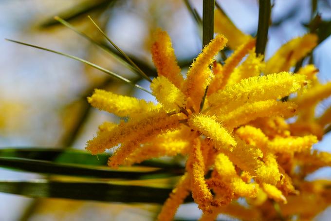 Hoa keo lá tràm thường nở vào tháng Chạp và kéo dài khoảng một tháng. Những cánh hoa bung như hình đuôi sóc, thoảng hương thơm dễ chịu khi gió Bấc thốc qua.