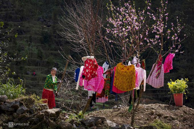 Thiếu nữ dân tộc H'Mong phơi đồ trên những cành đào tại Sủng Là, Đồng Văn.