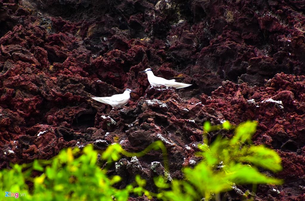 Đôi chim bồ câu về tổ trên vách đá trầm tích núi lửa ở huyện đảo Lý Sơn.