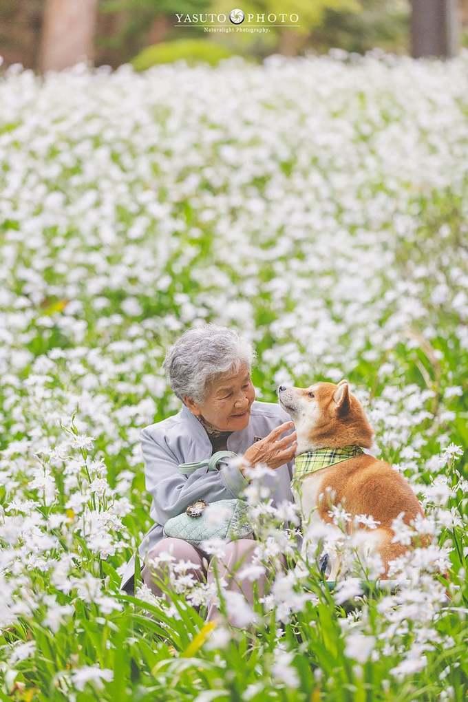 Bạn đồng hành của hai bà cháu là một chú chó inu shiba được bà nuôi từ lâu. Cụ bà hạnh phúc chơi đùa cùng người bạn bốn chân giữa cánh đồng hoa trắng muốt.