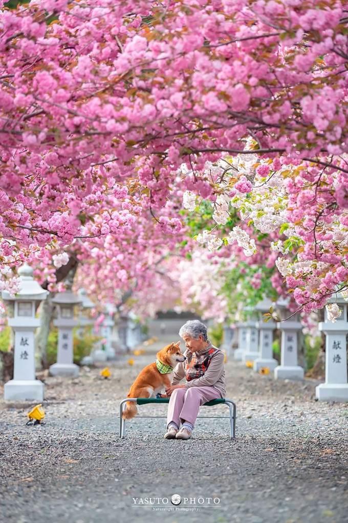 """Mùa xuân, """"ba bà cháu"""" đi ngắm hoa anh đào nhuộm hồng rực ở các ngôi đền nghìn năm tuổi."""