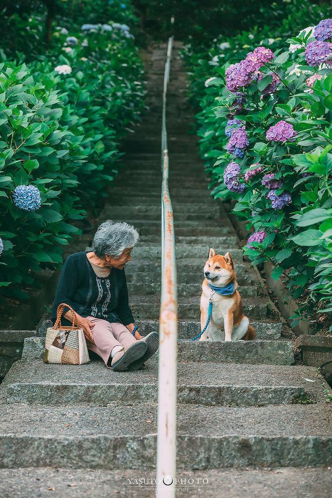 Tới mùa hè, anh lại đưa bà và chú chó nhỏ dự lễ hội hoa cẩm tú cầu ở ngôi đồn Hakusan (Tokyo) với 3.000 cây hoa thuộc 20 loài, khoe sắc đủ màu xanh, tím và trắng.