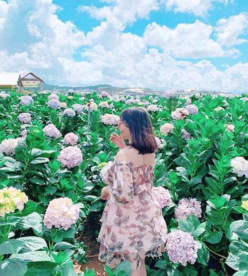 Cẩm tú cầu thân cao, hoa lớn, màu sắc đẹp, lại nở quanh năm nên phù hợp cho những shot hình sống ảo.Ảnh: ttrammie