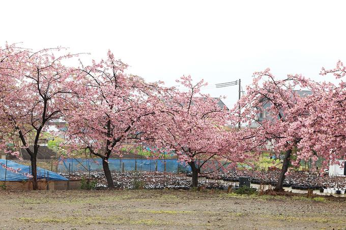 Tỉnh Tottori nằm ở phía Tây Bắc của Nhật Bản, có địa hình trải dài từ Tây sang Đông, phía Bắc giáp với biển Nhật Bản. Nơi đây có khí hậu cận nhiệt đới ẩm, kèm theo lượng mưa dồi dào trong suốt cả năm. Khí hậu vùng này tương đối giống với miền Bắc Việt Nam. Vào thời điểm này, nhiều thành phố trong tỉnh, hoa anh đào đã bung nở. Dự kiến, hoa anh đào tại đây nở rộ từ ngày 19 - 25/3.