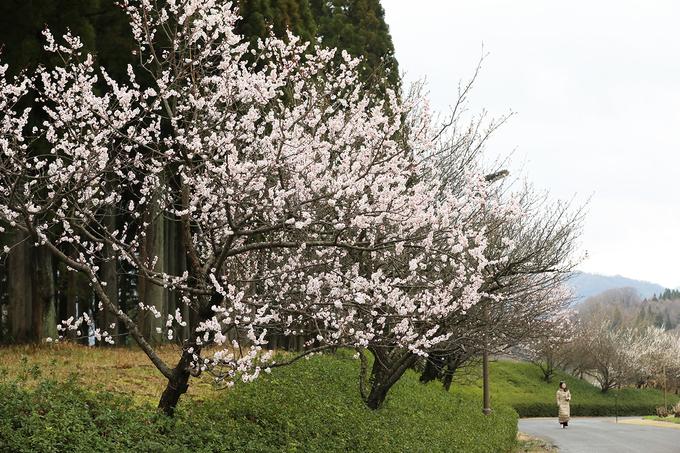 Đường hoa anh đào nở sớm tại vườn hoa Tottori Hanakairo.