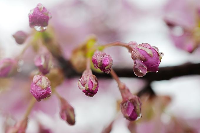Hiện nay, Nhật Bản có tới gần 300 loài hoa anh đào và con số này vẫn tiếp tục tăng do người trồng cấy ghép tạo giống mới. Nhưng hoa có 3 màu chủ đạo là trắng, hồng và đỏ. Thời gian tồn tại của bông hoa anh đào thường kéo dài từ 7 đến 15 ngày, trung bình khoảng hơn 1 tuần. Tùy theo từng chủng loại hoa và điều kiện môi trường thời tiết mà tuổi thọ khác nhau. Có nơi hoa nở rộ liên tục một tháng.