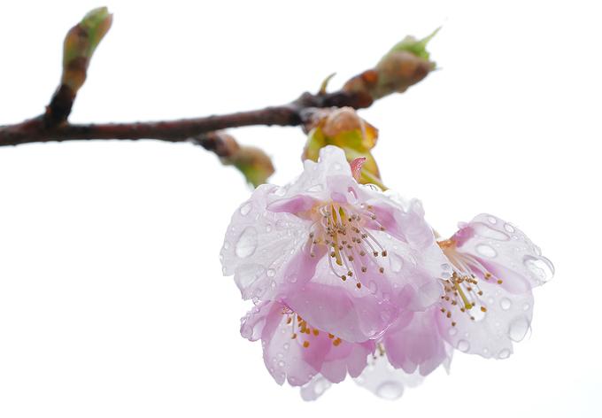 Giống hoa anh đào Ohkan Zakura được trồng nhiều nhất vì loại này hoa nở trước rồi lá mới mọc sau. Cánh hoa cũng to hơn so với các loại khác. Hoa có 5 cánh, màu hồng nhạt, khi nở cánh hoa không bung hoàn toàn và rủ xuống ngay cả mùa khai hoa. Ohkan thường nở vào đầu tháng ba.