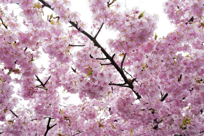 Ngày nay, tại Nhật Bản số lượng loài hoa tăng lên bởi người trồng tạo ra bằng biện pháp lai giống, cấy ghép nên vòng đời ngắn, chỉ kéo dài vài chục năm để hoa nở sớm, trong khi cây gốc của chúng có tuổi thọ hàng trăm năm.