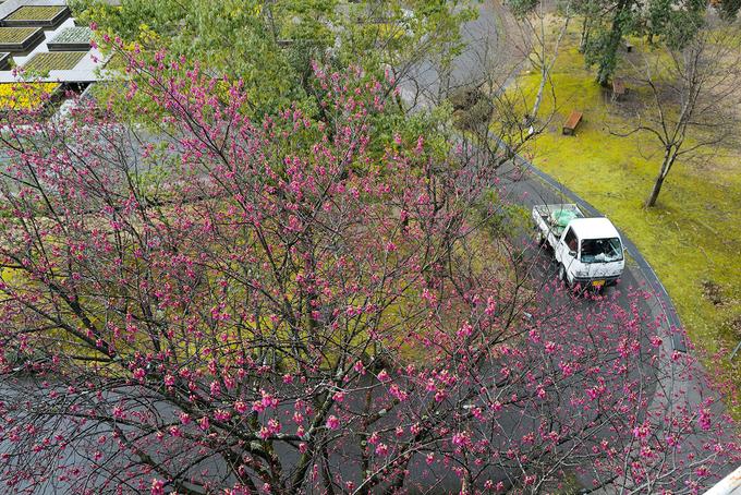Cây anh đào Kanhi zakura này nằm trong số những cây anh đào nở sớm nhất, khoảng đầu tháng ba. Vì hoa có màu sẫm nên được gọi là Kanhi Zakura (nghĩa là anh đào hồng đỏ). Loại này chịu lạnh yếu nên chỉ mọc tự nhiên ở những vùng có khí hậu ấm áp.