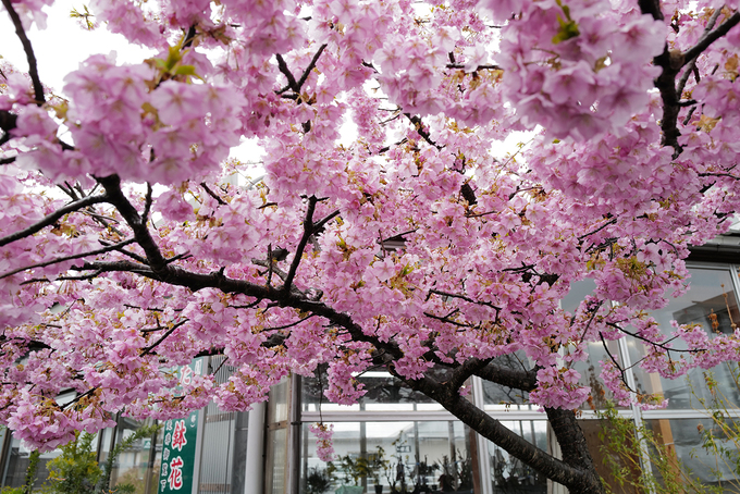 Hoa anh đào được trồng ở bất kỳ đâu, quanh nhà, bên sông, ngoài cánh đồng, những nơi công cộng...