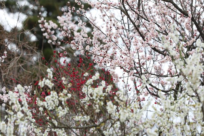 Dưới chân núi Daisen (có hình dáng như núi Phú Sĩ) những cây hoa anh đào nhiều màu đua nhau khoe sắc.