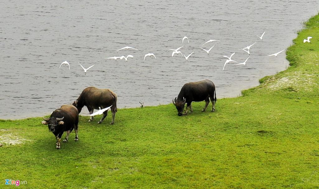 Hình ảnh đàn cò bay lượn bên những con trâu nhởn nhơ gặm cỏ ven đầm cũng là điểm nhấn thu hút du khách khi ghé nơi đây.