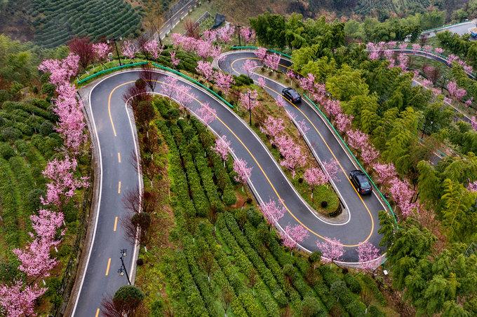 Các đồng chè xanh mướt xen lẫn những hàng hoa đang nở hồng trên sườn núi Hongfu, huyện Pingli, tỉnh Sơn Tây, phía bắc Trung Quốc. Hoa anh đào và mai ở khu vực núi Qinba, tỉnh Sơn Tây, cũng bung nở rất nhiều sau một trận mưa lớn hồi đầu tháng 3. Ảnh: Xinhua.