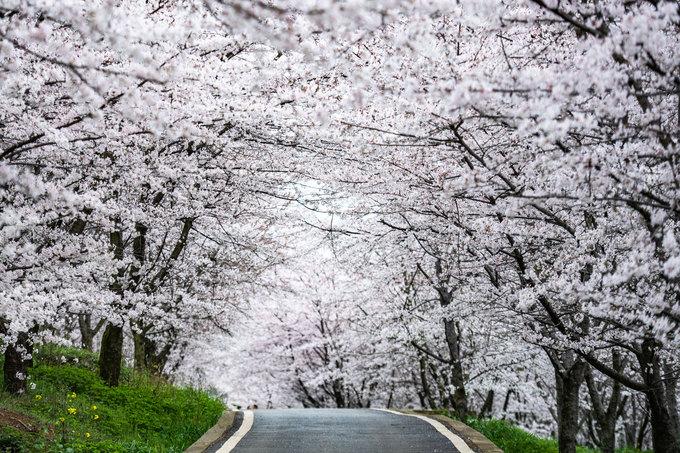 Những hàng hoa anh đào nở rộ khắp một đoạn đường ở quận Guian, tỉnh Quý Châu, phía tây nam Trung Quốc hôm 12/3. Ảnh: Xinhua.