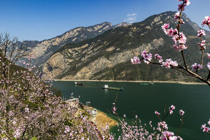 Hoa đào nở bên dòng sông Dương Tử ở núi Xiling, huyện Zigui, tỉnh Hồ Bắc, miền trung Trung Quốc, ngày 15/3. Ảnh: Xinhua.