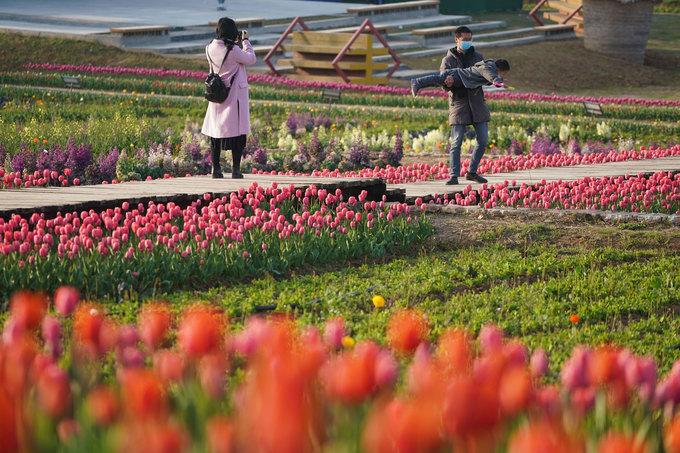 Một gia đình tận hưởng không gian vắng vẻ, trong lành trong vườn hoa tulip. Thời tiết ấm dần làm hoa tulip và cải dầu đua nở khắp vùng Giang Tô. Ảnh: Xinhua.