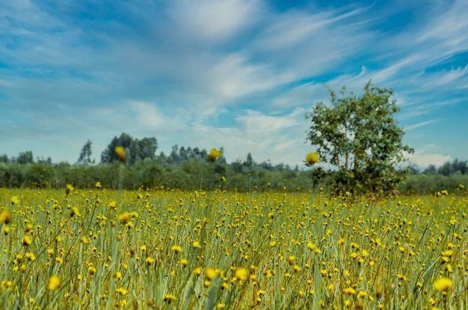 Hoàng đầu ấn thường bắt đầu rộ từ giữa tháng 2 đến cuối tháng 3 ở Vườn quốc gia Tràm Chim (Đồng Tháp). Đặc biệt, hoa chỉ nở khi trời nắng gắt, 10h - 13h. Để chiêm ngưỡng được vẻ đẹp của vườn hoa, khách phải đến đúng thời điểm, quá sớm hay quá trễ đều uổng công.  Vườn quốc gia Tràm Chim cách TP Cao Lãnh khoảng 45 km và cách TP HCM khoảng 220 km. Tràm Chim có diện tích gần 7.000 ha, là khu dự trữ sinh quyển Ramsar thứ 2.000 của thế giới.