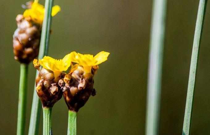 Hoàng đầu ấn có nguồn gốc từ Ấn Độ, tên khoa học là Xyris Indical (thuộc loại cỏ vàng Xyridaceae).