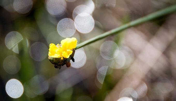 Hoàng đầu ấn xuất hiện tại Tràm Chim đã lâu. Cây mọc trong nước, đến mùa khô nước rút xuống, cây trổ hoa. Theo vườn quốc gia Tràm Chim, sau 3 năm không trổ bông, năm nay hoàng đầu ấn đã ra hoa trở lại. Hoa trải rộng trên diện tích 6,2 hecta, nhuộm vàng cả phân khu A5 của vườn.