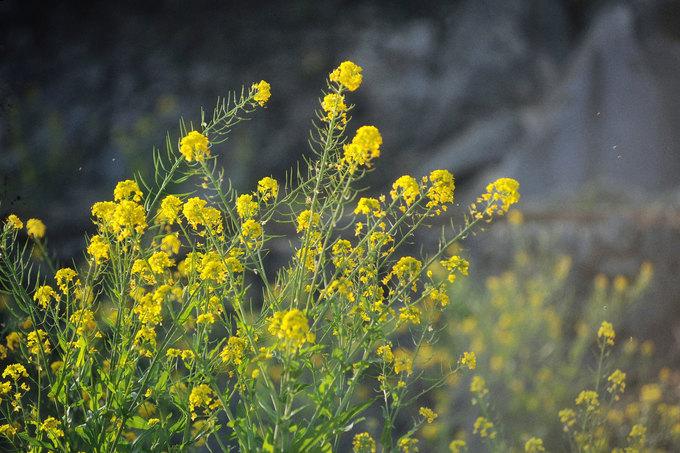 Ở Phố Trồ mùa này còn có những luống hoa cải vàng rực, nở kế bên những bờ rào đá trong thôn. Thời gian đẹp nhất để đến Phố Trồ và cao nguyên đá Đồng Văn nói chung là khoảng tháng 2 đến giữa tháng 3 dương lịch.