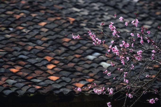 Những bông hoa càng nổi bật trên nền mái ngói âm dương rêu phong.
