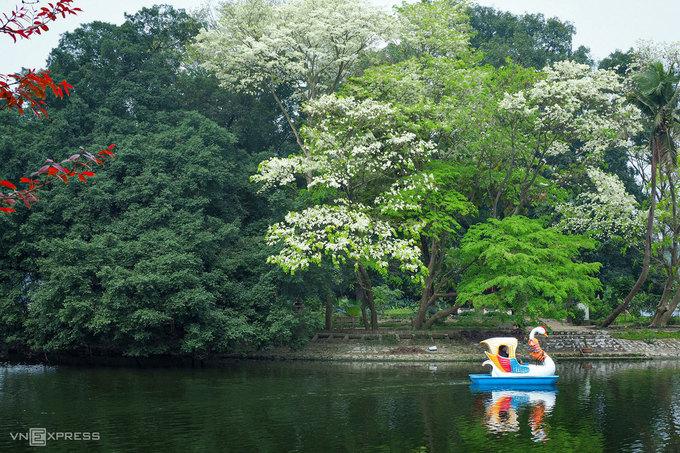 Hoa sưa gắn liền với thời gian chuyển mùa, từ đông sang xuân. Năm nay, do thời tiết thất thường, nắng ấm sau những ngày lạnh giá nên hoa sưa nở từ cuối tháng 2, sớm hơn hàng năm. Hoa sưa mọc thành chùm, kích thước mỗi bông 7 - 9 mm, mùi thơm nhẹ.  Mỗi năm, sưa chỉ nở một lần, kéo dài khoảng một tuần. Hà Nội hiện có hơn 1.400 cây sưa, được trồng nhiều ở trên đường Trần Hưng Đạo, Thanh Niên, hồ Giảng Võ, công viên Thống Nhất... Ảnh: Giang Trịnh.