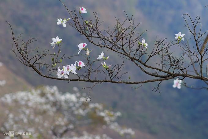 Hoa ban là một trong những biểu tượng của vùng Tây Bắc. Địa phương nổi tiếng với những rừng ban nở trắng đồi núi trong tháng 3 là Sơn La và Điện Biên. Du khách có thể bắt gặp mùa hoa khi chạy xe trên nhiều tuyến đường ở hai địa phương này.  Năm nay, lễ hội hoa ban (Điện Biên) cũng bị dừng tổ chức vì Covid-19. Ở Hà Nội, hoa ban được trồng nhiều nhất là khu vực lăng Chủ tịch Hồ Chí Minh và một số tuyến đường như Điện Biên Phủ, Thanh Niên, Trần Phú. Ảnh: Ngọc Thành.