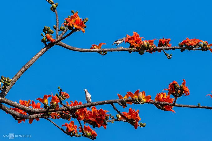 Hoa gạo rất quen thuộc với các làng quê ở đồng bằng Bắc Bộ, thường được trồng ở đầu làng hay giữa cánh đồng. Trong mùa hoa, cây rụng hết lá, chỉ có những bông hoa đỏ rực trên cành, nổi bật trên nền trời.  Hoa gạo nở có 5 cánh, mùa hoa kéo dài gần một tháng và rụng dần trước khi cây ra lá non. Còn có tên gọi khác là mộc miên hay pơ lang, nhiều địa phương khác cũng nổi tiếng với mùa hoa gạo như Hà Giang (ven sông Nho Quế), Sơn La, Huế, Quảng Ngãi. Ảnh: Kelvin Long.