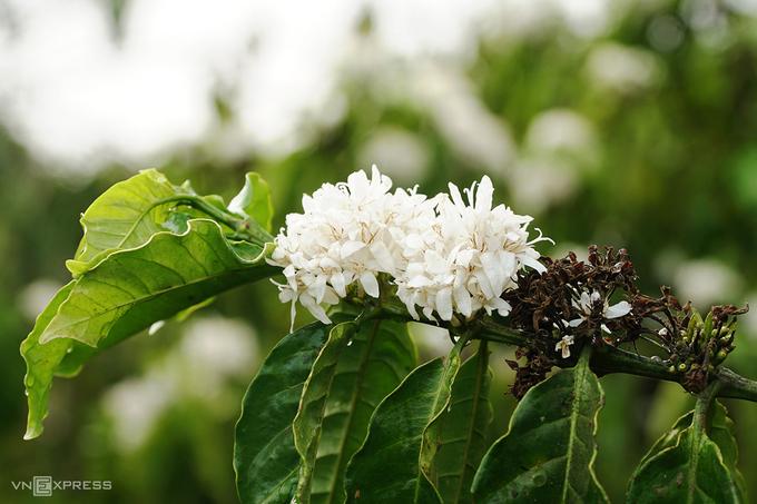 Hoa cà phê là nét đặc trưng của Tây Nguyên. Mỗi năm hoa thường nở khoảng 2-3 đợt, từ tháng 12 đến tháng 3 năm sau, mỗi đợt dài từ 7 đến 10 ngày nên không phải ai cũng có cơ hội được chiêm ngưỡng.  Nhiều nơi trồng cây cà phê, nhưng Pleiku (Gia Lai) và Buôn Ma Thuột (Đắk Lắk) là nơi có những rừng hoa cà phê lớn nhất. Chỉ qua một đêm, những cánh rừng cà phê xanh chuyển hoa trắng dưới bầu trời trong xanh và cái nắng dịu nhẹ. Hoa cà phê nở thành từng chùm, mùi hương dịu nhẹ lan toả, quyến rũ ong bướm khắp nơi bay về hút mật. Ảnh: Phong Vinh.