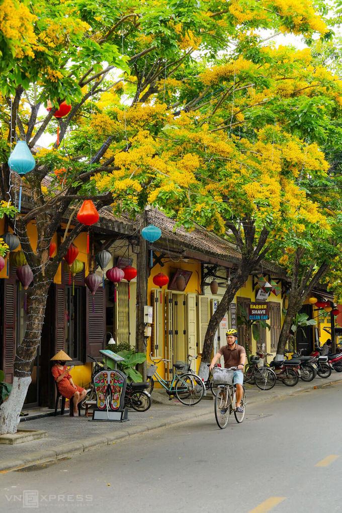 Du khách đạp xe tham quan phố cổ trong mùa hoa sưa vàng.