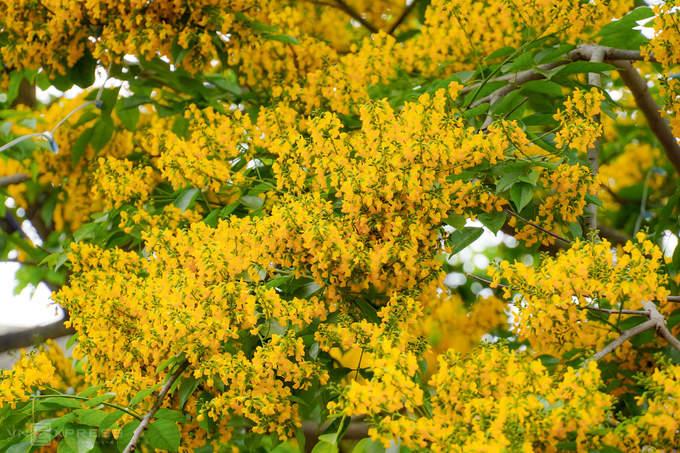 Cây sưa vàng được người dân miền Trung gọi là cây hương vườn. Ở tỉnh Quảng Nam, TP Hội An và TP Tam Kỳ là hai nơi trồng nhiều cây sưa vàng. Loài cây này thường được người dân trồng làm cây cảnh đô thị, khu phố. Gỗ sưa vàng không quý như sưa trắng miền Bắc.