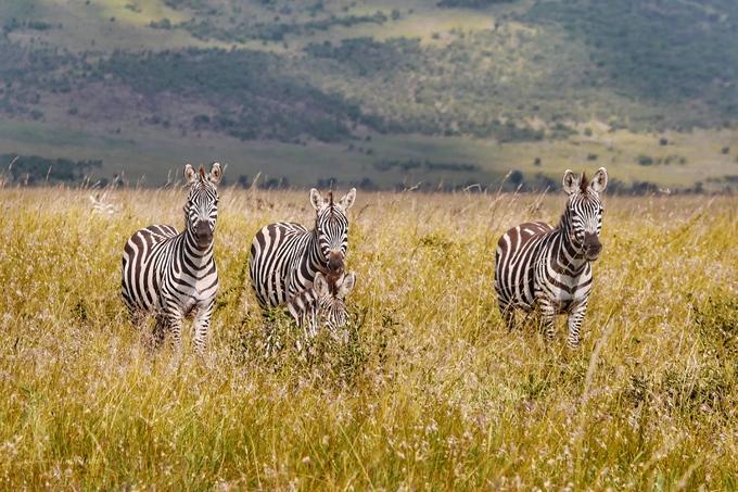 Đàn ngựa vằn trong Serengeti. Vào tháng 6, 7 hàng năm, hàng chục nghìn con ngựa vằn sẽ có cuộc di cư sống còn khi vượt sông Mara và Grumeti để đến vùng đất mới ở Kenya và quay trở lại vào tháng 9. Hàng nghìn con sẽ bỏ mạng lại hai con sông này, khi làm mồi cho cá sấu.