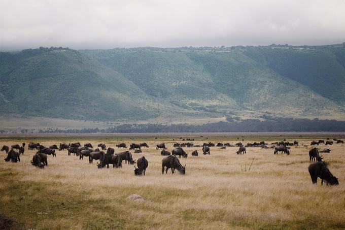 Nếu đến công viên quốc gia Serengeti vào mùa khô từ tháng 6 đến 9, du khách còn thấy được cảnh hàng triệu triệu con thú di cư về phía hồ Victoria. Cuộc di cư nổi tiếng và đẹp nhất ở công viên quốc gia này là của linh dương đầu bò. Đây là một trong những sự kiện tự nhiên ấn tượng nhất và là điểm thu hút chính đối với du khách.
