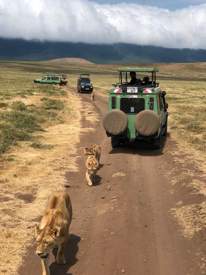Đàn sư tử trong Khu bảo tồn Ngorongoro. Có thể gặp chúng ở bất kỳ đâu trên đồng cỏ, thẩn thơ đi dạo trên lối mòn của xe cộ chở khách thập phương, hay nằm trên những tảng đá. Du khách có thể coi thú trên những chiếc xe jeep không cửa - trải nghiệm này được gọi là game drive, và khách phải tuân thủ mọi quy định của nhà tổ chức.
