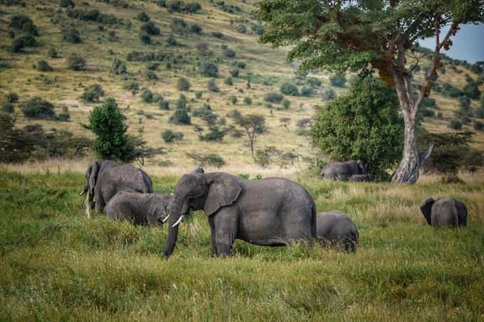 Nằm giữa Serengeti và hồ Manyara, Ngorongoro có miệng núi lửa Ngorongoro nổi tiếng, đồng thời là một trong những nơi ngắm động vật hoang dã đẹp nhất Tanzania. Trong ảnh là đàn voi ở công viên quốc gia Serengeti.