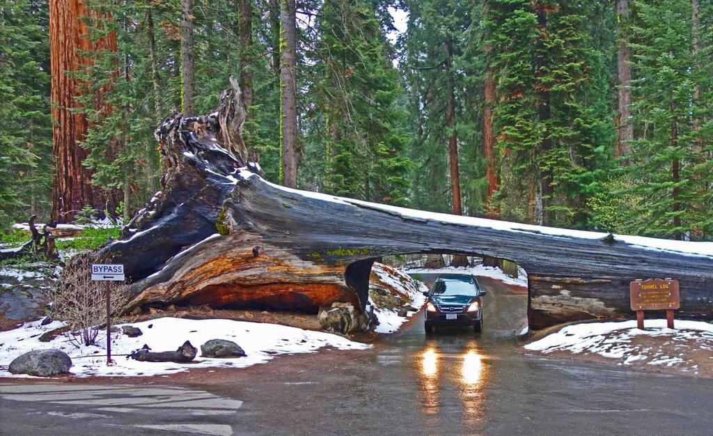 Đường hầm độc đáo này ra đời sau khi một cây có kích thước khổng lồ đổ xuống vào cuối năm 1937. Độ tuổi của cây không được xác định nhưng có thể vượt quá con số 2.000 năm. Đường hầm giữa rừng cây khổng lồ tạo nên bức tranh thiên nhiên tuyệt đẹp, hệt cánh cổng đưa bạn đến thế giới cổ tích đầy màu sắc. Ảnh: Twitter.