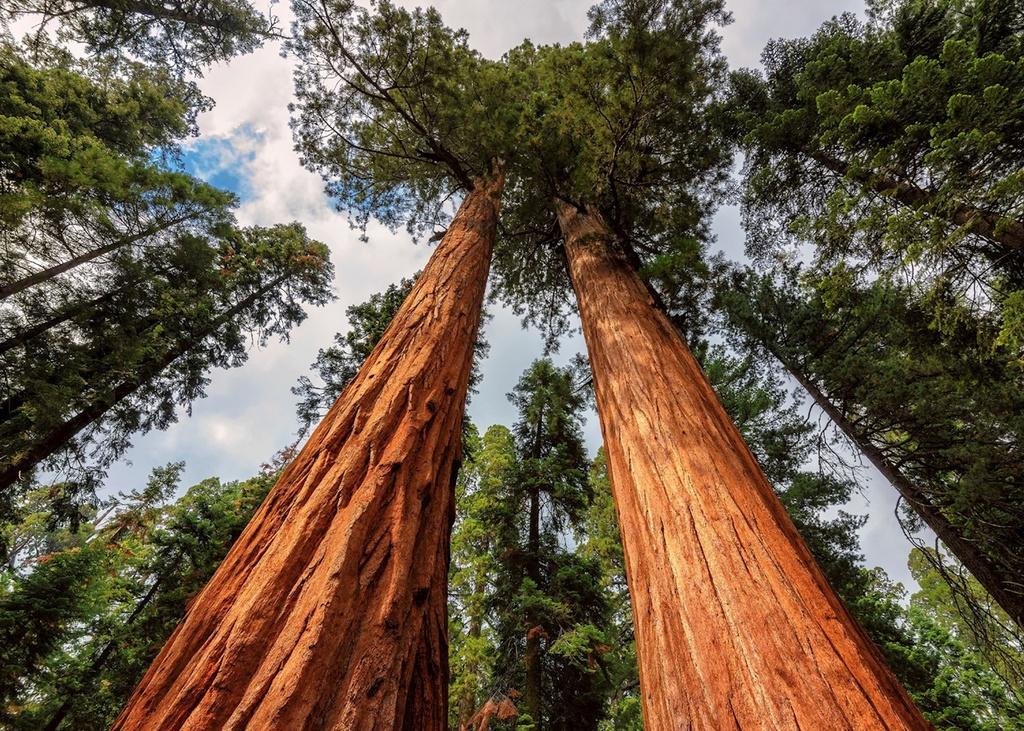 Năm 1968, công viên quốc gia Redwood được thành lập và đến năm 1980, nơi này được công nhận là Di sản thế giới. Cây gỗ đỏ Hyperion cao nhất trên Trái Đất sinh sống ở nơi này. Hyperion có chiều cao hơn 115 m, được phát hiện bởi Chris Atkins và Michael Taylor vào năm 2006. Vị trí cụ thể của cây không được các nhà khoa học tiết lộ vì lo ngại du khách có thể làm hại nó. Ảnh: Audley