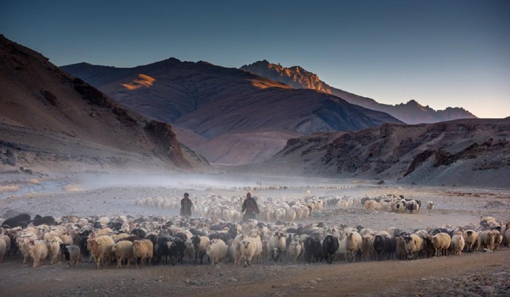 Đàn gia súc có thể thích nghi với thời tiết khắc nghiệt của cao nguyên. Tuy nhiên, khi tuyết phủ dày vào mùa đông, người Changpa và chính quyền địa phương có thể phải nhập cỏ từ nơi khác, để đảm bảo sự sống sót chúng. Ảnh: Darter Photography.