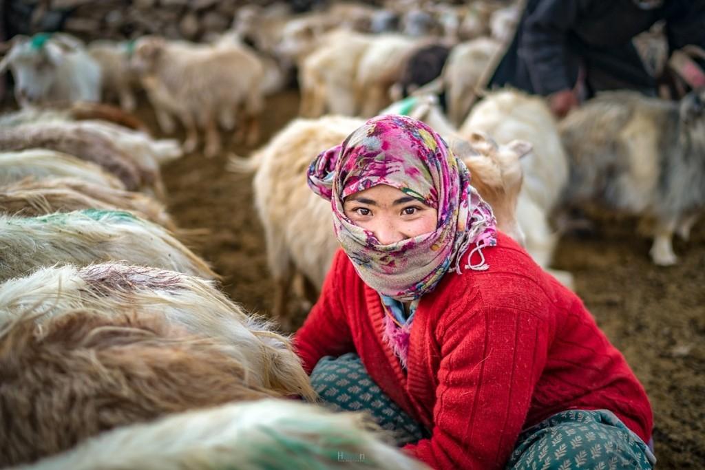 Một khu định cư Changpa có thể sở hữu tới 10.000 con vật. Khi đàn gia súc trở về vào hoàng hôn, những bước chân có thể tạo nên một làn khói bụi mịt mờ. Mỗi gia đình thường có 100 - 200 con. Số lượng gia súc liên quan đến sự giàu có trong cộng đồng Changpa. Kể cả mùa hè, buổi sáng ở Changtang rất lạnh. Khi những tia nắng ấm áp đầu ngày ló rạng, người Changpa sẽ đưa cừu ra khỏi chuồng quây và chăn chúng qua những ngọn núi để tìm cỏ. Trước khi đi, dê sẽ được buộc chặt vào nhau theo hàng để vắt sữa, trong khoảng 15, 20 phút. Công việc chăn dê sẽ kéo dài cả ngày và người Changpa sẽ chỉ trở về khi chiều muộn. Ảnh: Tehhanlin/Flickr. Trong cộng đồng, đàn ông đảm nhiệm các công việc ngoài trời và phụ nữ chủ yếu làm việc nhà như nuôi con, nấu ăn, chăm sóc gia súc. Tuy nhiên, cả 2 giới đều tham gia vào việc dệt sợi. Đàn ông chủ yếu quay và dệt lông yak, sử dụng làm lều, còn phụ nữ dệt len từ lông cừu, dày và kín hơn để làm áo khoác, mũ, thảm.