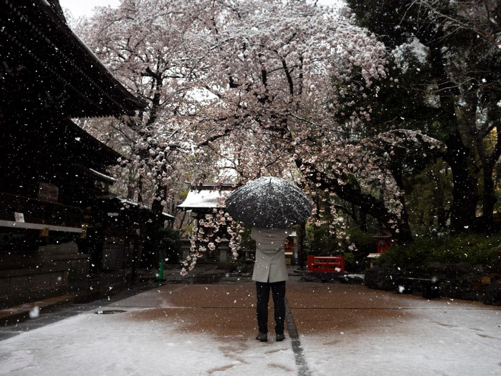 Năm nay, Nhật Bản đón mùa hoa anh đào đáng nhớ. Cuối tháng 3 vừa qua, thành phố Tokyo đón đợt tuyết trái mùa giữa thời điểm loài hoa quốc dân ở Nhật nở rộ. Tuyết rơi trái mùa là hiện tượng hiếm gặp, 32 năm mới xuất hiện một lần. Tuy nhiên, người dân xứ Phù Tang không được thưởng trọn vẹn mùa hoa năm nay vì dịch bệnh hoành hành. Ảnh: AP.