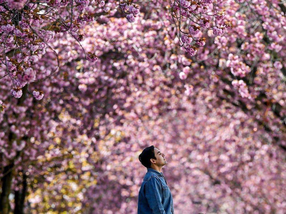 Tại thành phố Bonn (Đức), hoa anh đào bắt đầu khoe sắc khắp các con phố. Hàng năm, thành phố thu hút lượng lớn khách du lịch đến ngắm hoa vào khoảng tháng 3-4. Năm nay, người dân địa phương có thể ngắm hoa theo từng nhóm nhỏ. Cảnh sát liên tục đi tuần để kiểm soát đám đông tụ tập. Ảnh: Getty.