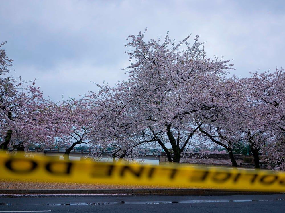Washington (Mỹ) đón mùa hoa anh đào buồn khi lễ hội ngắm hoa thường niên bị hủy bỏ. Con đường hoa tại công viên National Mall đóng cửa từ ngày 25/3. Tờ Washington Post đưa tin, cảnh sát thành phố cũng đóng cửa một số điểm ngắm hoa nổi tiếng gần hồ Tidal Basin và cấm người dân tụ tập ngắm hoa hồi đầu tháng 4. Ảnh: AFP.