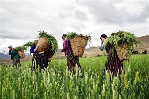 Những người phụ nữ ở Mustang đeo gùi chứa đầy cỏ làm thức ăn cho gia súc