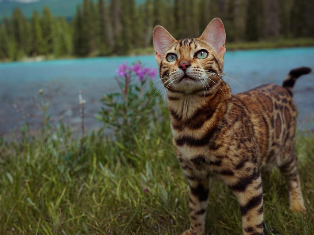 """Tài khoản cá nhân của """"travel cat"""" này có hơn 1,8 triệu lượt theo dõi và trên 100.000 lượt thích cho mỗi bài đăng. Hình ảnh mới nhất ở Mỹ của Suki đã nhận được nhiều sự quan tâm của cộng đồng mạng. Tài khoản Ponyo.bean dành lời khen: """"Suki! Bạn là loài mèo đáng yêu nhất quả đất mà tôi biết"""". Trong khi đó, tài khoản Karinaa.blabla bày tỏ sự lo lắng cho Suki: """"Suki! Bạn nên ở nhà vào thời điểm này"""". Chủ nhân của bức ảnh đã phản hồi rằng họ vẫn đang tận hưởng những phút giây bên nhau tại nhà."""