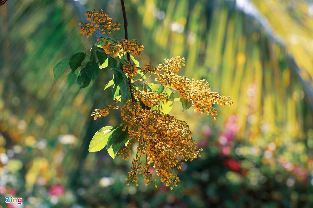 Loài hoa nở 2-3 lần trong tháng, mỗi đợt kéo dài khoảng 2 tuần. Hoa nở nhanh nhưng cũng chóng tàn, chỉ cần một cơn gió lướt qua, những cảnh hoa mỏng manh sẽ rơi rụng tạo thành một lớp thảm vàng trên hè phố.