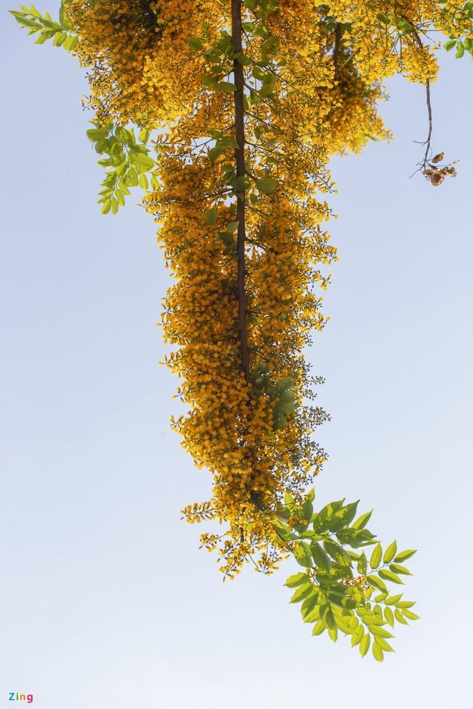 Hoa sưa có cụm hoa hình chùy ở kẽ lá, phủ lông màu nâu, dài 5-9 cm. Hoa có màu vàng nghệ với cuống dài, mùi thơm nhẹ, thanh khiết.