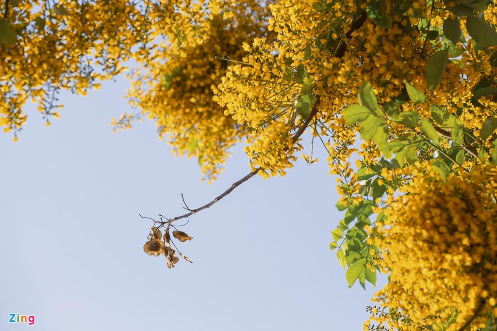 Mọc thành từng chùm xếp lớp, loài hoa này trở thành một trong những dấu hiệu nhận biết thời tiết giao mùa.