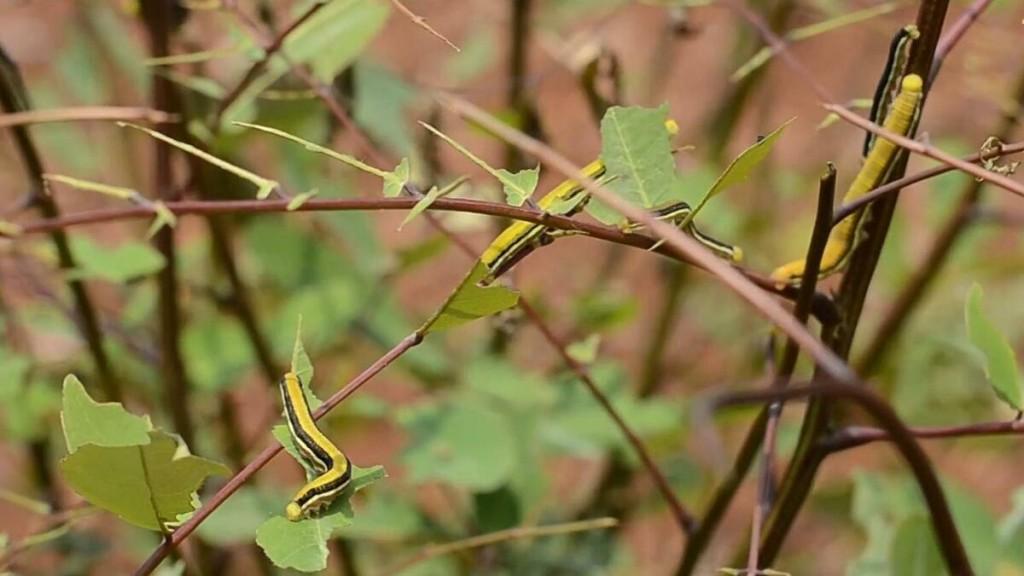 Khi trưởng thành, sâu di chuyển về thân cây muồng để kéo kén thành nhộng trước khi thành bướm. Ảnh: Công Lý.