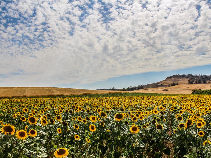 Bên ngoài thị trấn Carmona của Tây Ban Nha, du khách sẽ được chiêm ngưỡng cánh đồng hoa hướng dương trải rộng 5.000 ha. Những bông hoa mặt trời khoe sắc từ tháng 5 đến tháng 7.